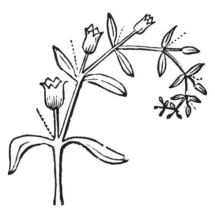 Picture shows the Scorpioid Cyme plant in which the axis is curved or coiled and the flowers open successively downwards from the apex, always on the convex side of the axis, vintage line drawing or engraving illustration.