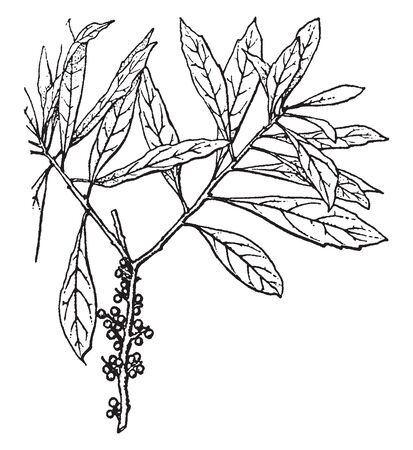Picture shows the plant of Myrica. It is a genus of about 35-50 species of small trees in the family Myricaceae.The roots have nitrogen-fixing bacteria which enable the plants to grow on soils, vintage line drawing or engraving illustration.