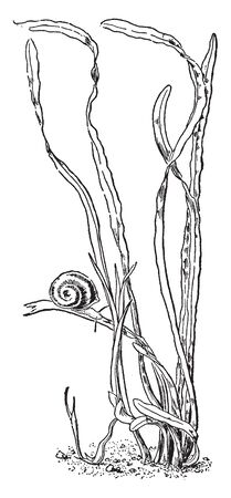 Tape-grass is species have long thin leaves it grows in a clustered. It leaves are narrow, linear and broad, vintage line drawing or engraving illustration.