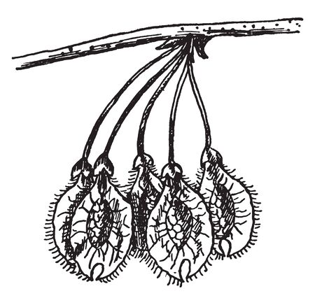The fruit is a flat, broad, with a circular papery wing surrounding the single seed at the centre. There is white broad hairs surrounding the wing. Its centre is hard, vintage line drawing or engraving illustration.