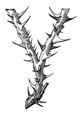 This image represents Thorny Letter Y with a thorny appearance, vintage line drawing or engraving illustration.