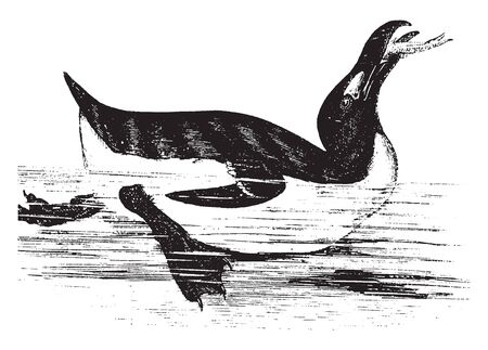 Penguin live almost exclusively in the Southern Hemisphere with only one species the Galapagos penguin found north of the equator, vintage line drawing or engraving illustration.