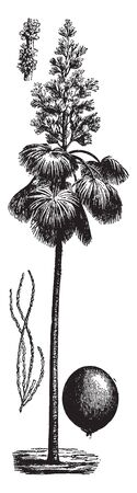 A picture of a Ceylon palm tree. The leaves are stretched out from the centre of the hair trunk, vintage line drawing or engraving illustration. Vektoros illusztráció