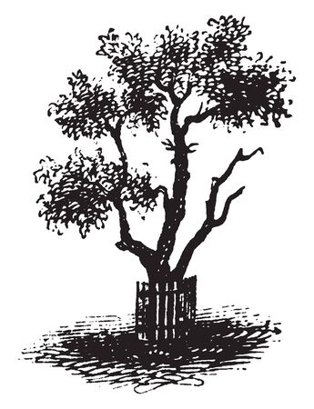 This is a pear tree appear to be dying, vintage line drawing or engraving illustration.