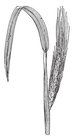 This is a Jowar crop, this picture is a grain of Jowar. Its stem is thick and strong, vintage line drawing or engraving illustration.