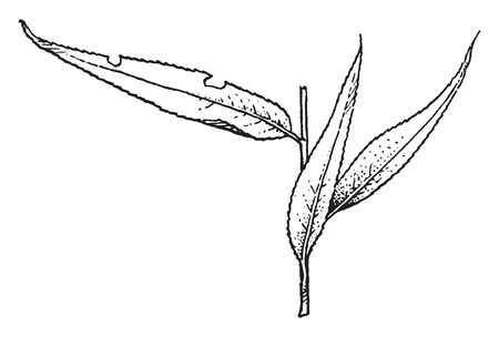 Salix Tetrasperma, commonly called Indian willow, is a medium-sized tree of wet and swampy places; leaves are silky and four times as long as broad, vintage line drawing or engraving illustration.