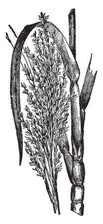 Sugarcane is a very important crop Sugarcane is a very important crop and sugar and jaggery is prepared from sugarcane, vintage line drawing or engraving illustration. Çizim