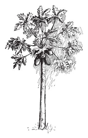 This is a image of Papaya tree which having many leaves & fruit. The leaves are having with a lobe & pointed edge. Its fruit are long  & thick with egg shape, vintage line drawing or engraving illust