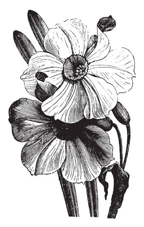 A bulbous plant belonging to the genus Narcissus, of the amaryllis family has showy yellow or white flowers with a cup-shaped corona, vintage line drawing or engraving illustration.