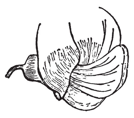 Pisum Sativum are flowers with the characteristic irregular and butterfly-like corolla, picture shows a growing petal of the flower. The wings in turn enclose a pair of small keel petals, vintage line drawing or engraving illustration.