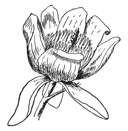 This frame has a tulip tree flower. The size of that flower is larger and it has pollen grains, vintage line drawing or engraving illustration. Stock Illustratie