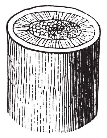This is an image of central part of the stem and it is called as woody stem, vintage line drawing or engraving illustration.