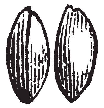An image of tilletia. Tilletia is a genus of smut fungi in the Tilletiaceae family. This image shows the infected grain, vintage line drawing or engraving illustration.