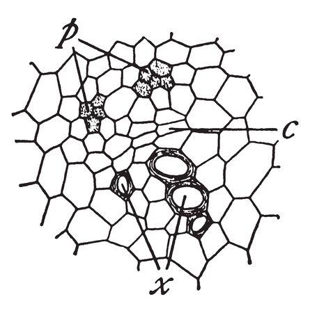This image showing Vascular bundle. A Vascular bundle is a part of the transport system in Vascular plants, vintage line drawing or engraving illustration. 向量圖像