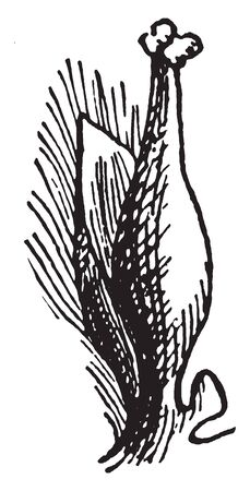 A picture showing the Pistillate flower of the Willow, vintage line drawing or engraving illustration.
