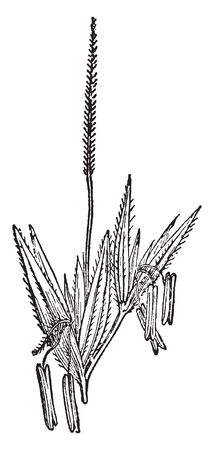 A picture showing a panicacae. This is a grass flower. The anther grows inside of flower. Stigma grows at upper side of flower, vintage line drawing or engraving illustration.