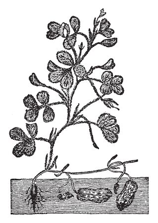 The peanut plant has procumbent stems and grows to around 0.5 m (20 in) tall. The tubular, 5-parted flowers are yellow and self-fertile. Peanuts are grow under the ground as shown in the picture, vintage line drawing or engraving illustration.