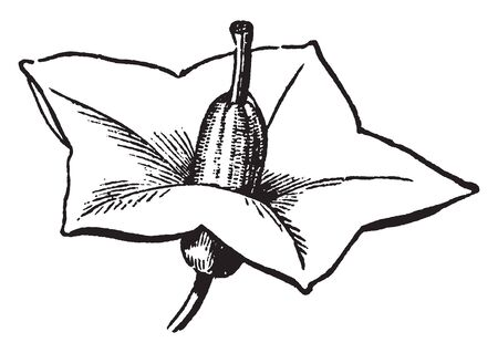 An image is of Potato flower. The flowers color is bear white, pink, red, blue, or purple with yellow stamens, vintage line drawing or engraving illustration.