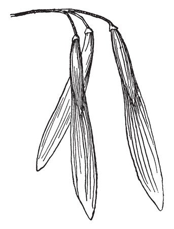 A fruit of Red ash tree. The narrow fruits, called samaras, are one-seeded and winged, vintage line drawing or engraving illustration.