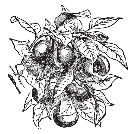 Nutmeg  Fruit is a tough, yellowish, one seeded fruit known as drupe about 2 cm in diameter. When mature it splits in two, exposing a crimson-coloured aril, the mace, surrounding a brown nutmeg seed, vintage line drawing or engraving illustration. Stock Illustratie