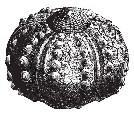 Sea urchin without spines is made up of several hundred polygonal pieces of different sizes of every variety of outline, vintage line drawing or engraving illustration.