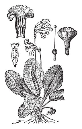The Picture is showing a parts of Primrose plant. There are flower clusters, Bud, Anther, and leaves, vintage line drawing or engraving illustration.