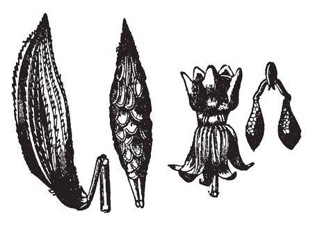 It is a genus of herbaceous flower, which is normally found in America, vintage line drawing or engraving illustration. Stock Illustratie