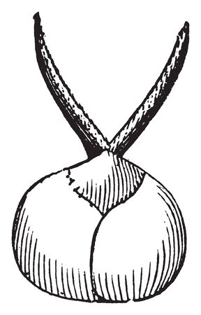This picture shows a mature Pistillate flower of mulberry grain, vintage line drawing or engraving illustration. Çizim