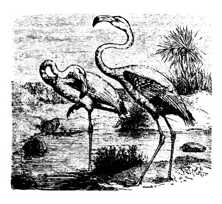 Flamingoes with bright feathers and highest status in the colony vintage line drawing.