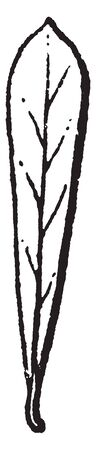 This is an image of lance shaped leaf with broad end at the top, vintage line drawing or engraving illustration. Illustration