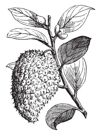 A picture shows the branch of Sour-Sop Plant. The fruit is large pear-shaped, yellow-green fruit with tart edible pulp. Stems, leaves and young branches are hairy. Leaves are oblong to oval, vintage line drawing or engraving illustration. Illustration