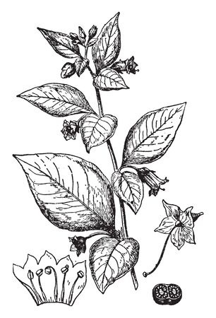 A picture shows Deadly Nightshade. It is a flowering branch, it shows: 1. flower after removal of the corolla, 2. corolla, with stamens cut open and flattened, 3. cross section of ovary, vintage line drawing or engraving illustration. Illusztráció
