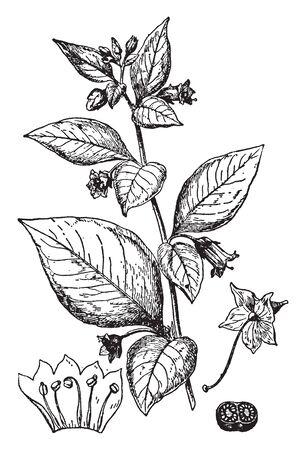 Une photo montre la morelle mortelle. C'est une branche fleurie, elle montre : 1. fleur après enlèvement de la corolle, 2. corolle, avec étamines coupées ouvertes et aplaties, 3. coupe transversale de l'ovaire, dessin de ligne vintage ou illustration de gravure.