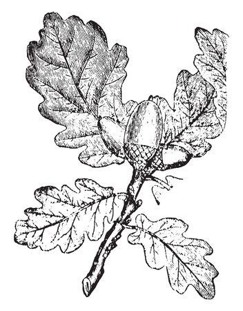 Una imagen de una rama de roble. En la imagen podemos apreciar las características hojas y el peculiar fruto, conocido como bellota, dibujo de línea vintage o ilustración grabada. Ilustración de vector