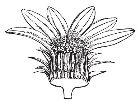Picture shows Section of Head of Sunflower Plant. Lower part shows receptacle and it contains small pollein-grains which are brown in color, petals with bright yellow color. It belongs to Asteraceae,  일러스트
