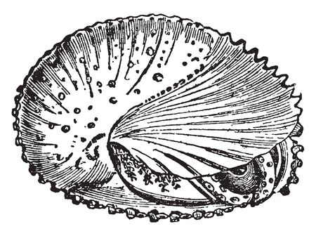 Mollusca is any member of the large phylum Mollusca of invertebrate animals, vintage line drawing or engraving illustration.