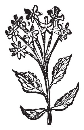 A genus of plant, of which several species are extensively cultivated, some for their lemon-scented, fragrant foliage, and others for the great beauty of their flowers, vintage line drawing or engraving illustration.