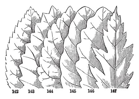 In this picture there is Kinds of margin leaves. From left to right: first is Serrate, second is Dentate, third is Crenate, fourth is Wavy, fifth is Sinuate and last one is Incised, vintage line drawing or engraving illustration. Illustration