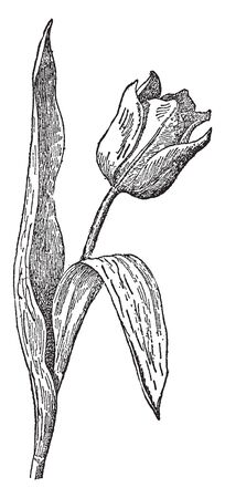 The image shows tulip flower which is a genus of bulbous plants of the lily family, including several hundred species, vintage line drawing or engraving illustration.