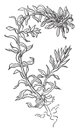 Water-thyme is a widespread invasive aquatic plant, native to Asia, vintage line drawing or engraving illustration.
