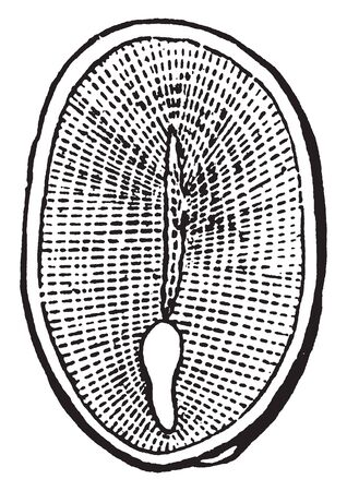 A picture showing section of a seed of a Peony, showing a very small embryo in the albumen, near one end, vintage line drawing or engraving illustration.