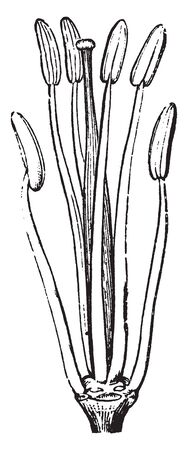 Picture is showing the reproductive parts of Mustard flower, vintage line drawing or engraving illustration. Çizim
