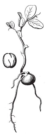 A picture showing a seedling of the pea plant, vintage line drawing or engraving illustration. Ilustração
