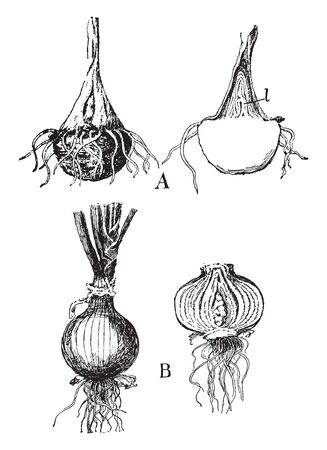 This picture showing the onion. it show process of growing onion, it growing underground, vintage line drawing or engraving illustration.