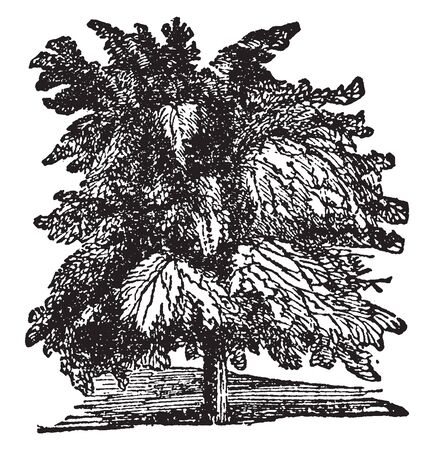 A picture showing Tamarind tree which is a tropical tree of bean family, vintage line drawing or engraving illustration.