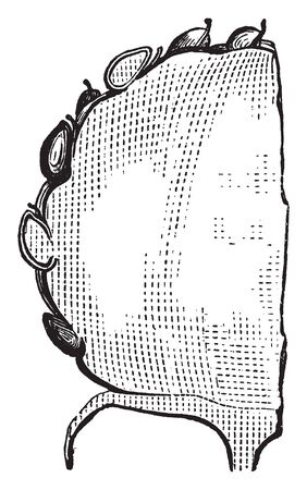 A picture shows section of a half part of a strawberry. Each apparent seed on the outside of the fruit is actually one of the ovaries of the flower, with a seed inside it, vintage line drawing or engraving illustration.