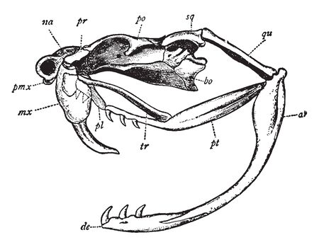 Rattlesnake Skull has articular portion of lower jaw and dentary portion, vintage line drawing or engraving illustration.
