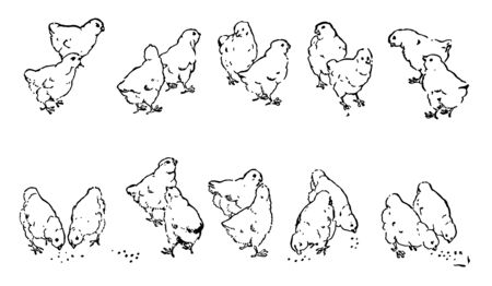 A picture showing twenty chicks. 10 groups of chicks are shown with 2 chicks in each group, vintage line drawing or engraving illustration.
