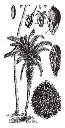 Es una ilustración del árbol del caucho que produce una savia de látex de color lechoso que se puede recuperar de la planta una vez que madura a una edad de unos seis años, dibujo de línea vintage o ilustración de grabado. Ilustración de vector