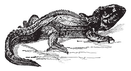 Tuatera is a large lizard from New Zealand and living frogs small lizards, vintage line drawing or engraving illustration. Ilustracja